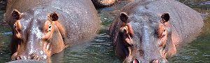 Subitamente emergiram dois hipopótamos...